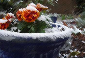 Geraniums with snow