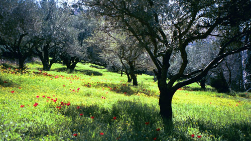 Green olive grove with red flowers