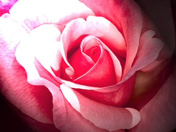 Pink rose with dramatic lighting