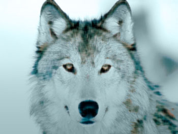 Wolf with intense eyes