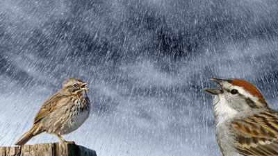 Sparrows singing in the rain
