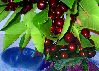 Black cherries with Ophelia