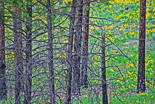 montana_pine