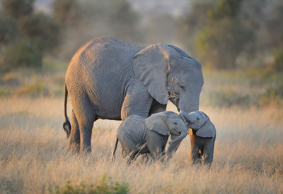 Mother elephant with twins in Amboseli National Park, Kenya, East Africa by Diana Robinson