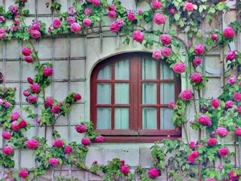 Climbing roses outside a window in a stone wall