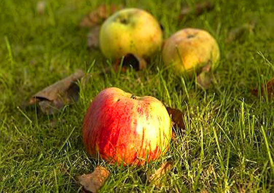 Fallen apples in field by Alyce Wilson