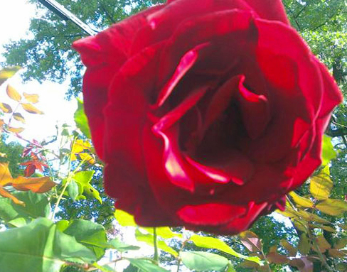 Red rose in sun by Alyce Wilson