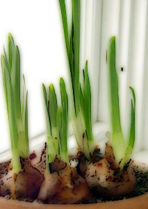 Narcissus bulbs in pot