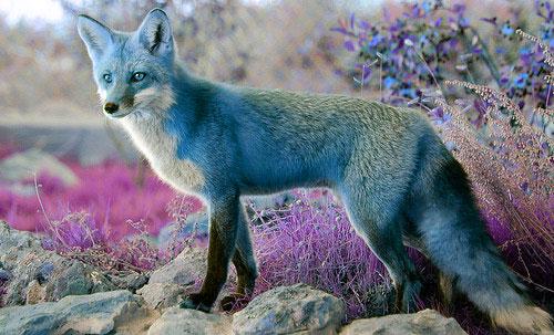 Fox with dreamlike colors