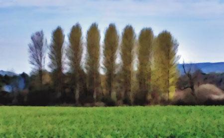 Blurry row of poplar trees