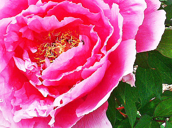 "Pink rose, ""What Home Garden"" by Keith Moul"