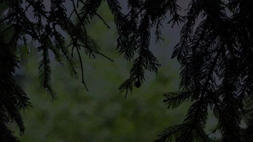 Pine trees on rainy night