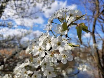 Flowering tree by Alyce Wilson