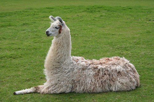 Llama lying down from Wikipedia