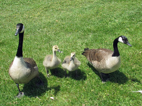 Geese mates with two goslings
