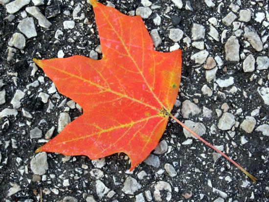Orange leaf on pavement by Alyce Wilson