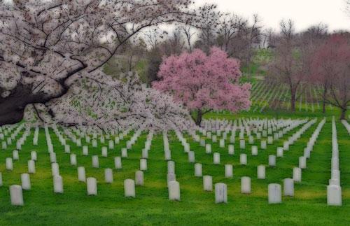 Cherry trees in cemetery